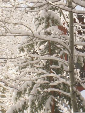 aspen with snow